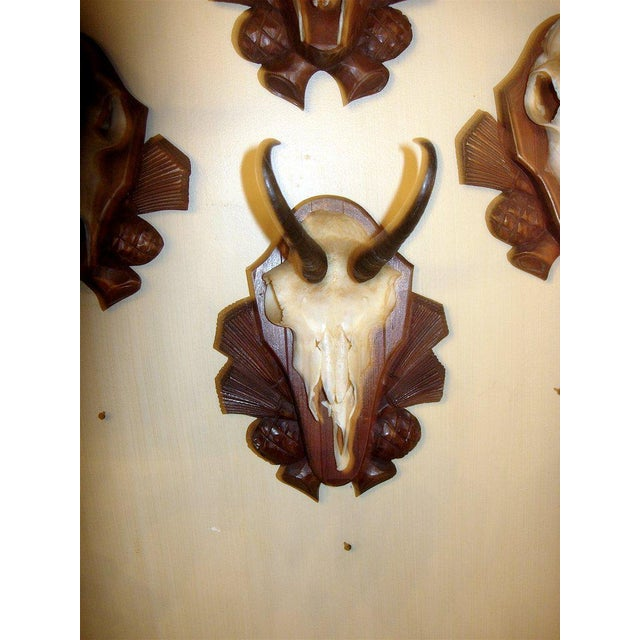 Collection of four black forest chamois mounts of carved wood plaques.