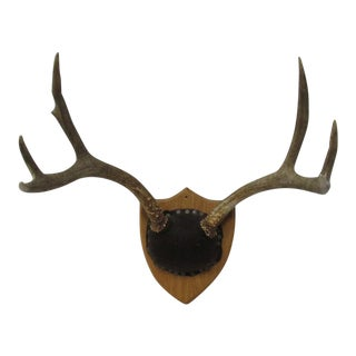 Cushion Mounted 6 Point Deer Antlers on Wood Shield