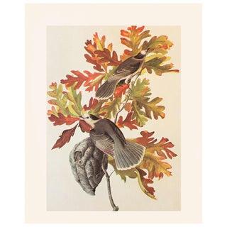 1966 Canada Jay by Audubon Vintage Print For Sale