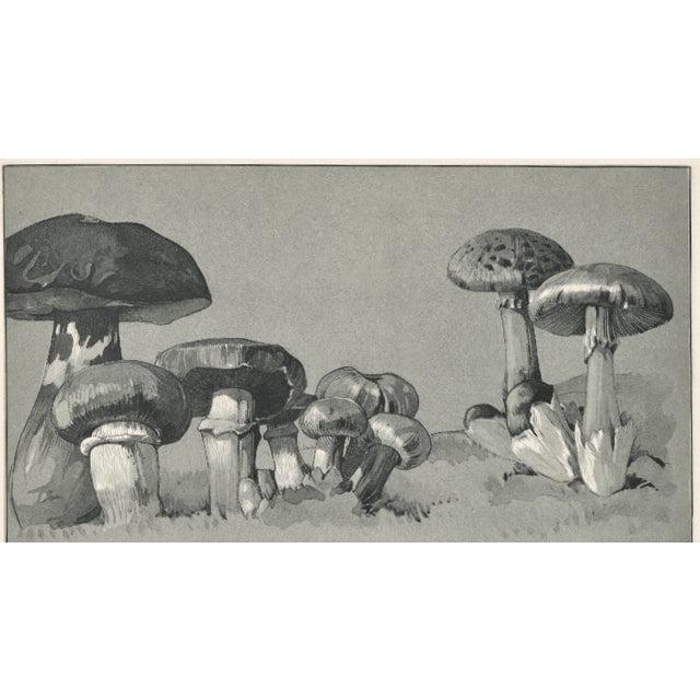 1904 French Botanical Mushrooms Lithograph - Image 2 of 3