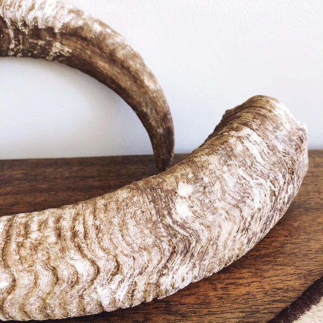 "Vintage pair of untreated and natural ram's horns. Each: 12.5"" length x 2.5"" diameter at each base"