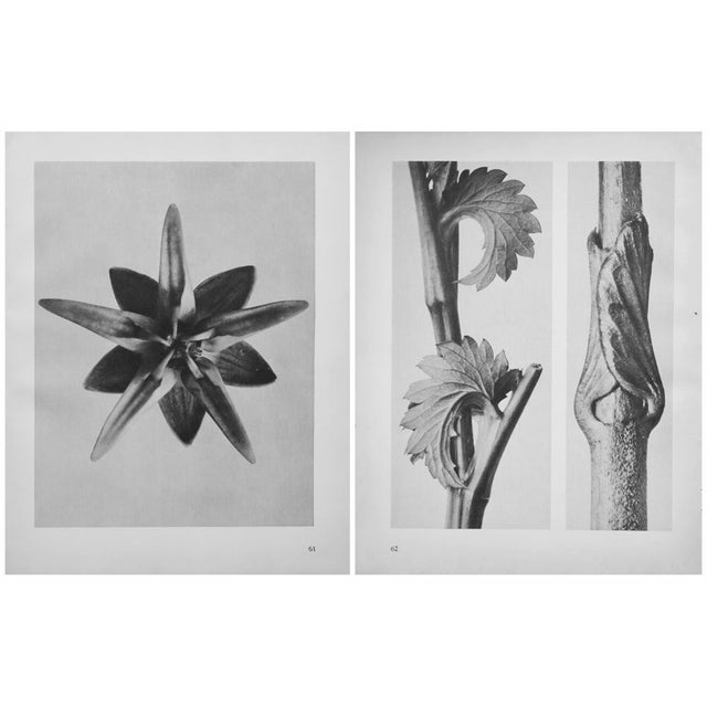 Tan 1935 Karl Blossfeldt Two-Sided Photogravure N62-61 For Sale - Image 8 of 9
