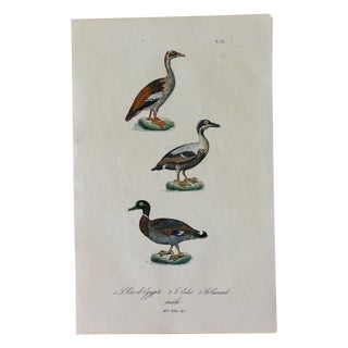 French Hand Painted Duck Engraving For Sale