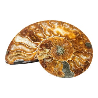 Fossilized Ammonite Mollusk Shell For Sale