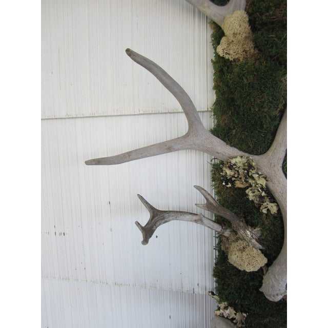 Beautiful antler and preserved moss framed mirror.... new mirror with refurbished frame of antique antlers with lichen,...