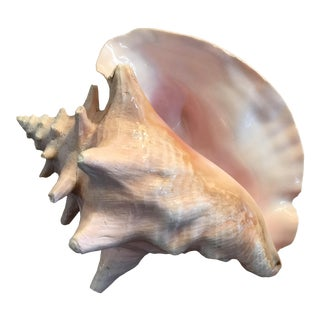 Natural Pink Conch Seashell Specimen For Sale
