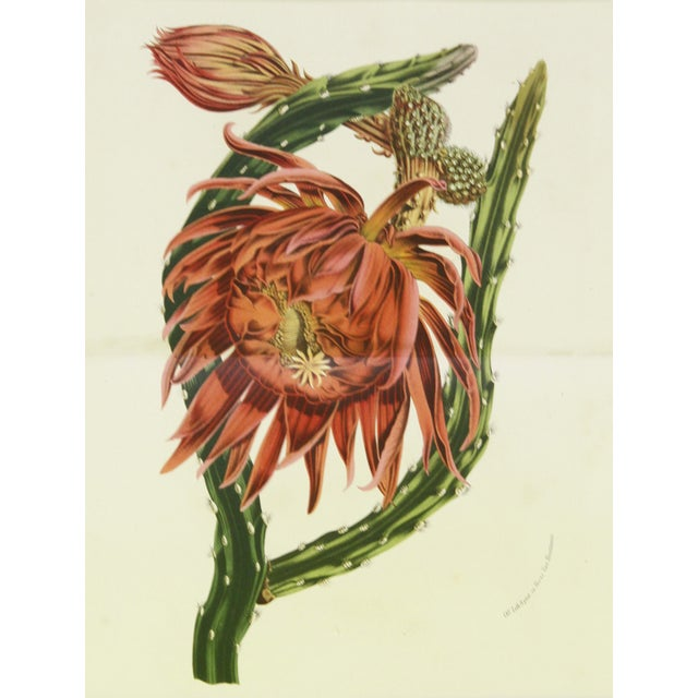 Vibrant hand-glazed chromolithograph featuring coral cactus flower. Printed in Paris from 1860. Displayed in a handmade...