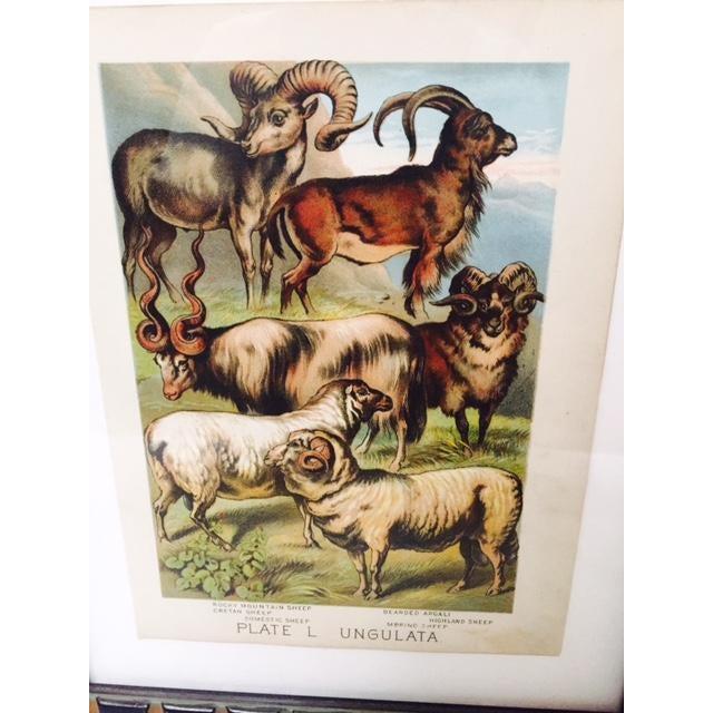Cottage Vintage Sheep Ram Prints in Carved Frames - A Pair For Sale - Image 3 of 5