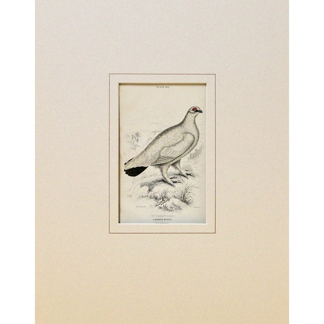 The common ptarmigan in winter plumage from The Naturalist's Library, by Sir William Jardine. This was engraved and hand-...