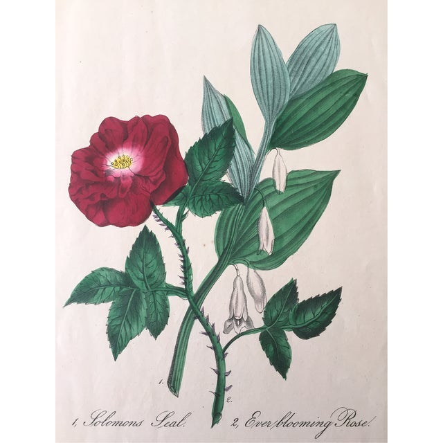 Ever Blooming Rose Hand Colored Lithograph C.1900 - Image 4 of 4