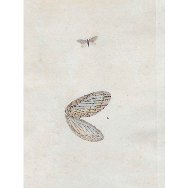 Antique English Hand Colored Entomology Engraving For Sale