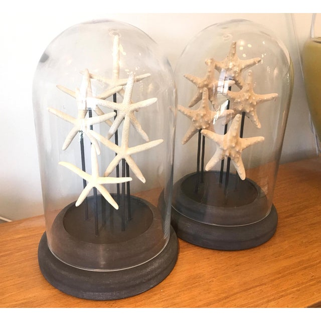 Beautiful pair of French glass domes with dark wood bases, featuring two different species of starfish. France, 1960s....