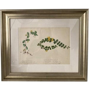 Mid 19th Century Botanical Watercolor Study of Vines, Framed For Sale