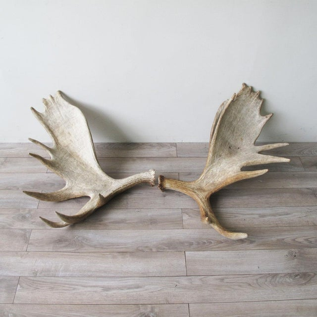 Pair Of Incredible Sun Bleached Moose Antlers Extremely Sculptural Large Multi