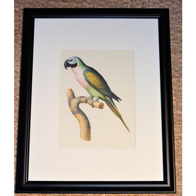 "Green Matted and Framed Vintage Larousse Perroquet ""Moustache Parakeet"" Color Lithograph For Sale - Image 8 of 8"