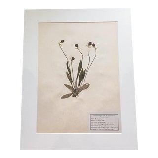 1920s Vintage French Pressed Botanical For Sale