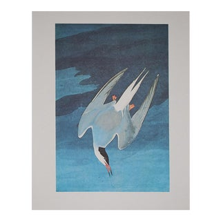 Large Lithograph of Arctic Tern by Audubon, 1966