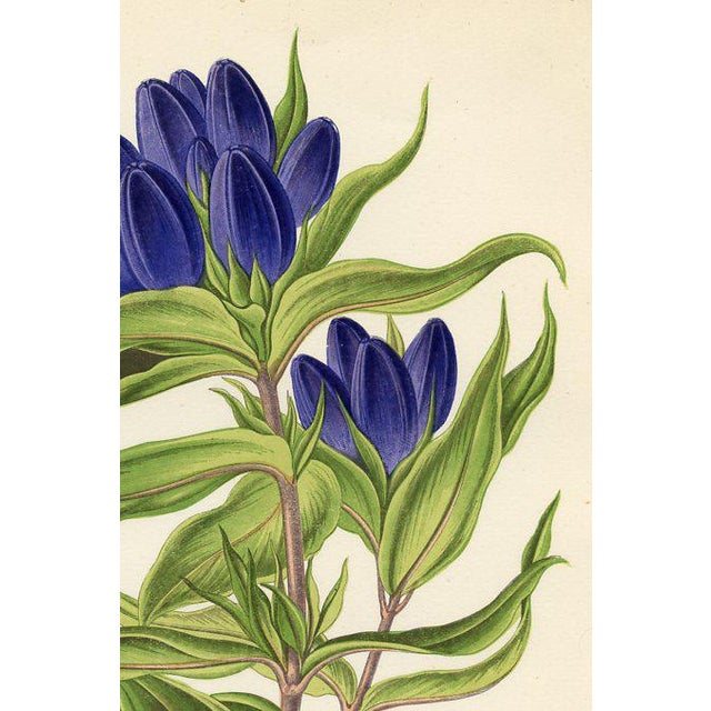 "Original color wood engraving from an 1870s folio of Alpine plants published in England. Shown is ""Andrew's Gentian""...."