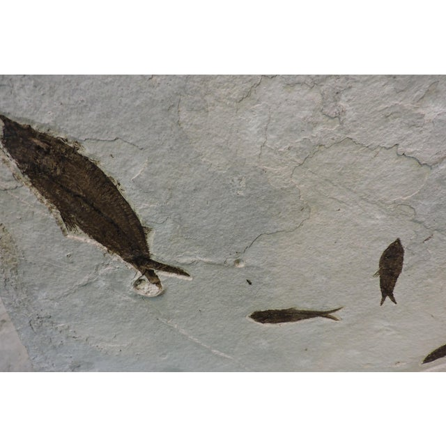 15th Century & Earlier Mass Mortality Fish Fossil Slab For Sale - Image 5 of 6