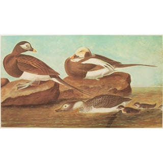 1966 Cottage Style Lithograph of Long-Tailed Ducks by John James Audubon For Sale