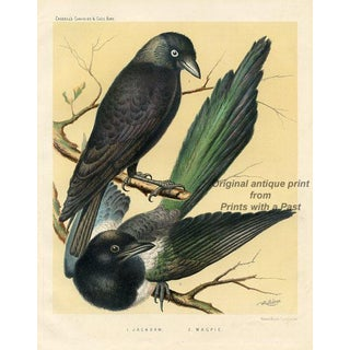 19th-C. English Bird Print, Magpie and Jackdaw For Sale