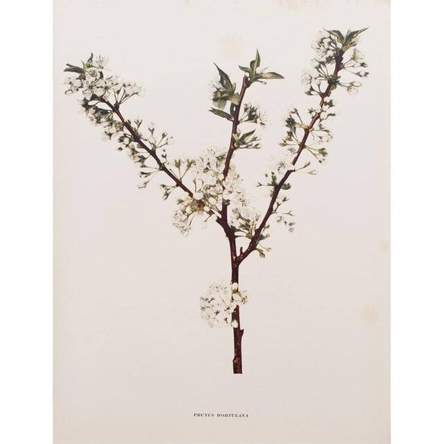 White 1900s Original Cherry Blossom Photogravures by Hedrick - a Pair For Sale - Image 8 of 11