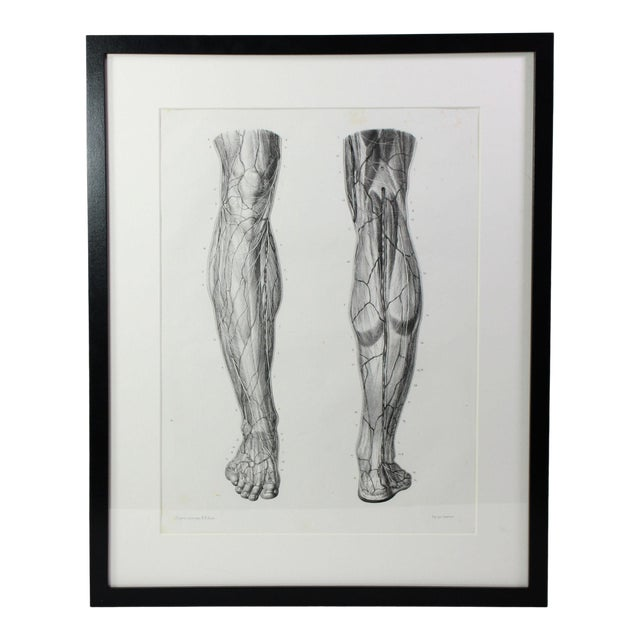 Antique 19th Century French Anatomy Muscular Leg Study Lithographic Print - Framed Under Plexiglass For Sale