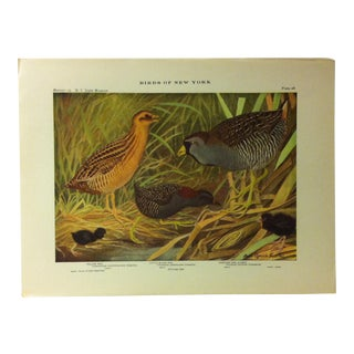 "1925 ""Yellow Rail - Little Black Rail - Carolina Rail"" the State Museum Birds of New York Print For Sale"