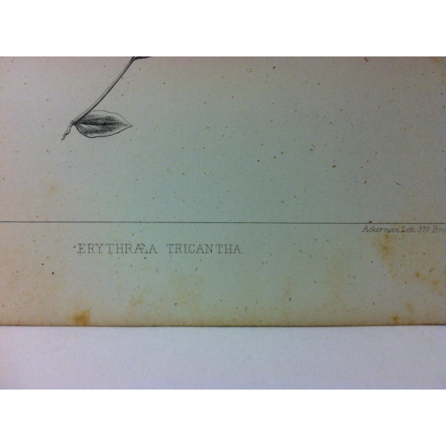 "Realism Antique Botany Lithograph Print on Paper ""Erythraea Tricantha"" 1853 For Sale - Image 3 of 4"