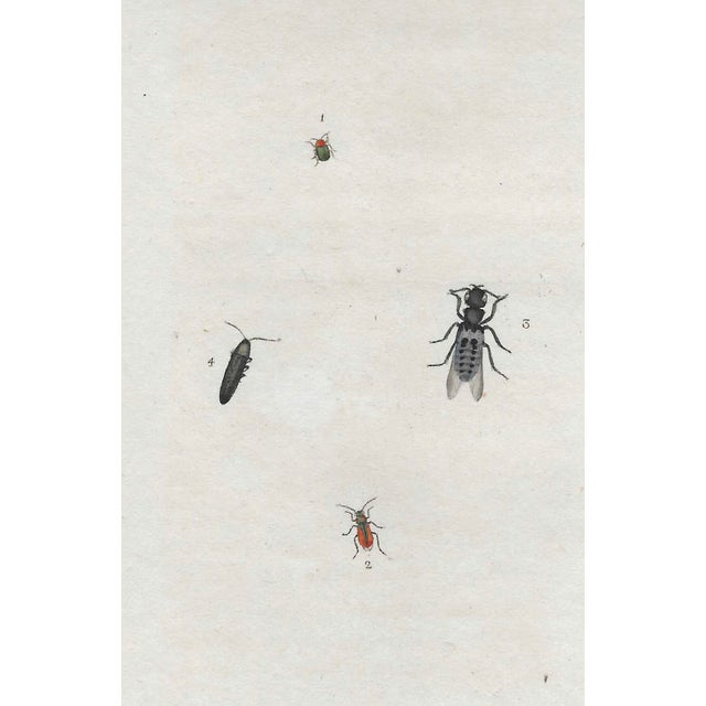 English Antique Insect Engraving For Sale