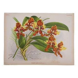 Large Antique Orchid Lithograph For Sale
