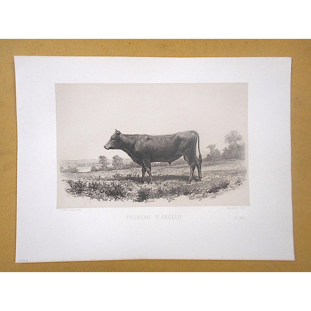 Realism Antique Pure Bred Cattle Engraving-Large Folio For Sale - Image 3 of 4