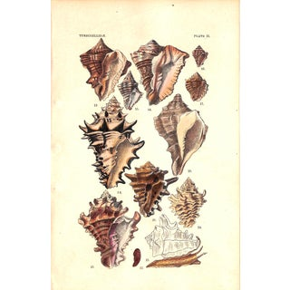 Shells, Antique Print 1882, Matted (No. 21) For Sale