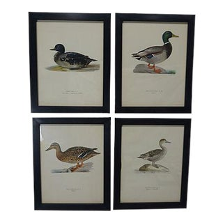 1929 Swedish Waterfowl Prints - Set of 4 For Sale