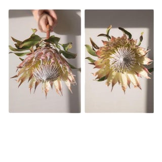 Earthly: Spiky Protea, 2020' Diptych, Contemporary Photographs by Claiborne Swanson Frank, Medium - A Pair
