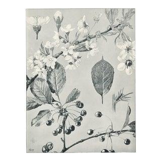 1904 French Art Nouveau Botanical-Fruit-Cherry For Sale