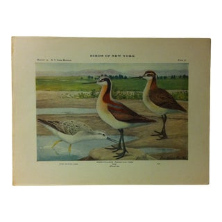 "1925 ""Wilson's Phalarope"" the State Museum Birds of New York Print For Sale"