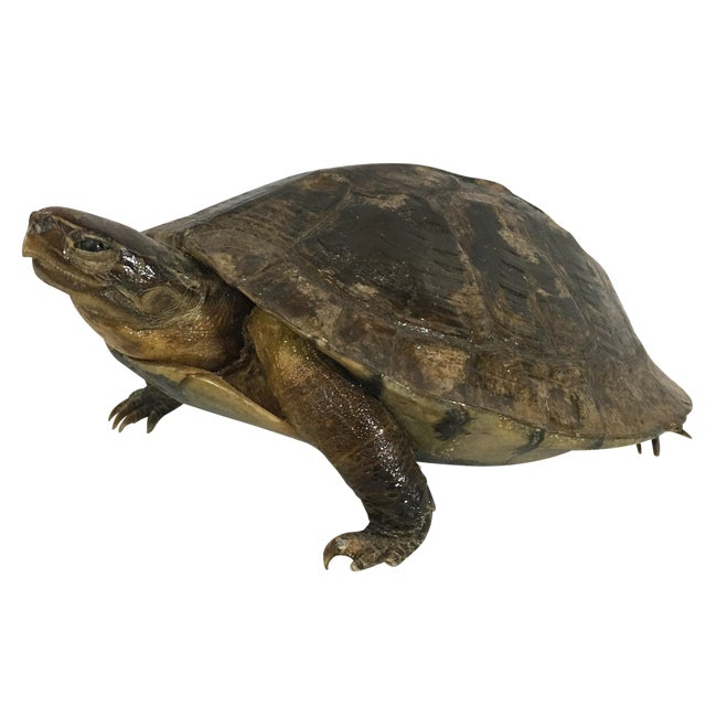 Antique French Taxidermy Turtle - Image 1 of 5