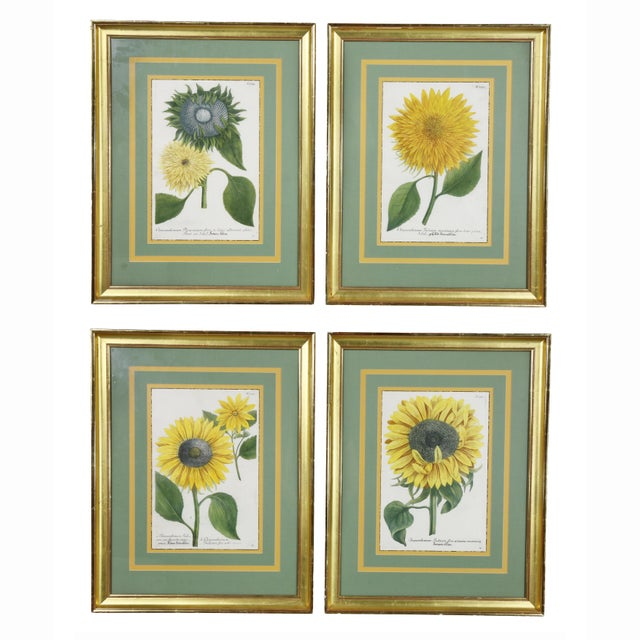 """Sunflowers"" Hand Colored Botanical Engravings - Set of 4 For Sale In Boston - Image 6 of 6"
