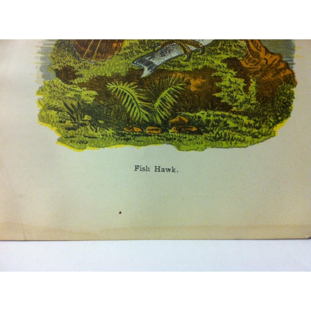 """Realism Vintage Birds of Water Color Print, """"Fish Hawk"""", Circa 1930 For Sale - Image 3 of 4"""