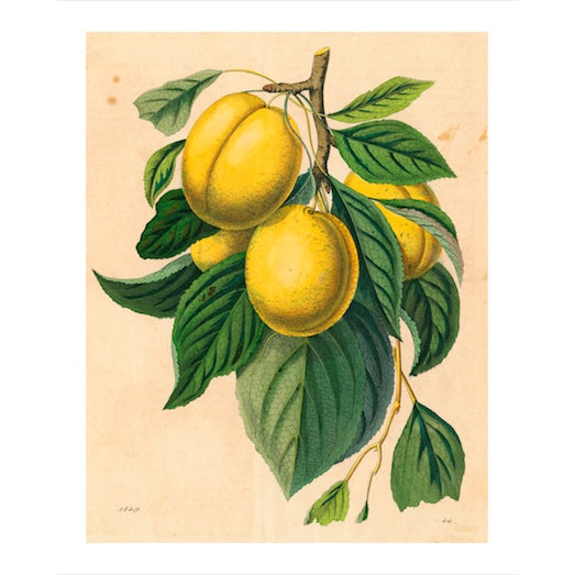 Vintage Yellow Plum Branch Archival Print For Sale