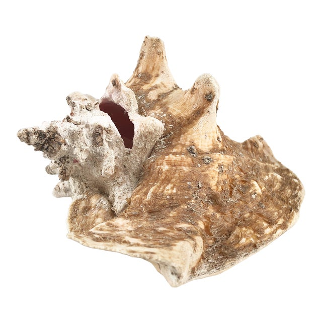Natural Weathered Large Conch Shell For Sale