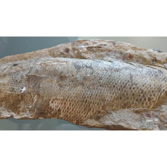 Stone Fossil Fish Concretion from Brazil For Sale - Image 7 of 8