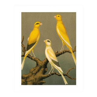 Antique '3 Yellow Canaries' Archival Print For Sale