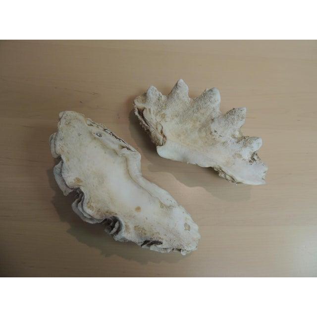 Vintage Half Clam Sea Shells - a Pair - Image 5 of 5
