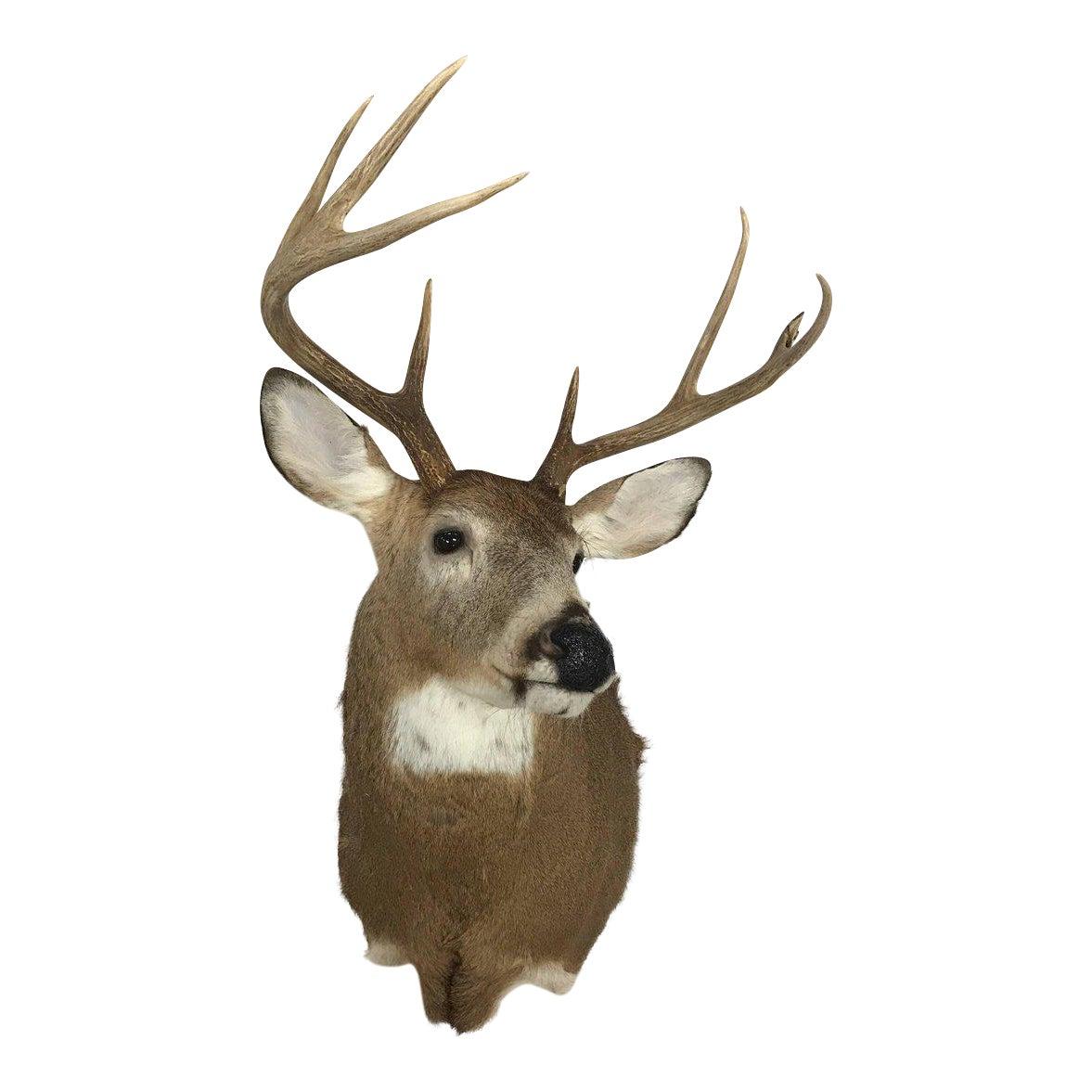 Deer Head Mount >> Exquisite Eight Point Deer Head Taxidermy Mount Decaso
