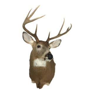 Eight-Point Deer Head Taxidermy Mount For Sale