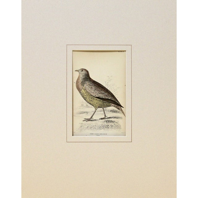 Antique Sir William Jardine Sandgrouse Engraving - Image 2 of 2