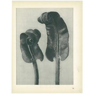 1928 Scolopendrium Vulgare, Original Period Photogravure N36 by Karl Blossfeldt For Sale