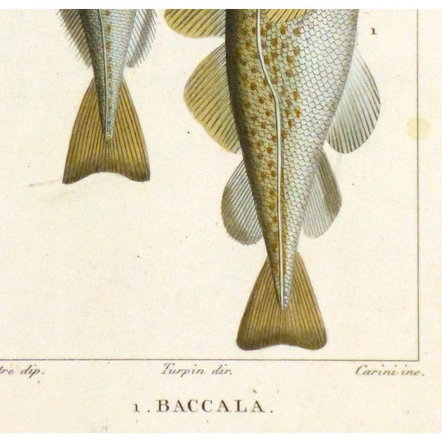 Traditional Freshwater Fish Engraving Print, C. 1830 For Sale - Image 3 of 5